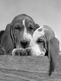 1950s Two Sad Looking Twelve Week Old Basset Hound Puppies Nestled Together Photographic Print