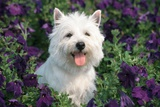 West Highland Terrier Sitting in Petunias Photographic Print by B. Von Hoffmann