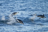 Chinstrap Penguins Swimming, Deception Island, Antarctica Photographic Print by Paul Souders