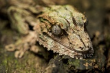Leaf-Tailed Gecko, Madagascar Photographic Print by Paul Souders