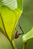 Giraffe Weevil, Madagascar Photographic Print by Paul Souders