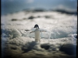 Adelie Penguin, Antarctica Photographic Print by Paul Souders