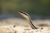 Grass Snake, Madagascar Photographic Print by Paul Souders