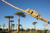 Chameleon, Avenue of Baobabs, Madagascar Fotografisk tryk af Paul Souders