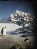 Gentoo Penguin on Wiencke Island, Antarctica Photographic Print by Paul Souders