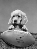 1960s Cocker Spaniel Puppy with Front Paw Resting on American Football Photographic Print