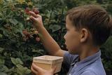 Boy Picking Raspberries Photographic Print by William P. Gottlieb