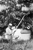 Senior Man Harvests Apples, Ca. 1926 Photographic Print