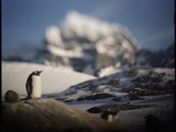 Gentoo Penguin on Goudier Island, Antarctica Photographic Print by Paul Souders