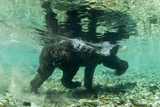 Underwater Brown Bear, Katmai National Park, Alaska Photographic Print by Paul Souders