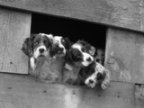 1920s-1930s Group of English Setter Pups with Heads Sticking Out of Opening in Kennel Photographic Print