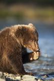Brown Bear Cub, Katmai National Park, Alaska Photographic Print by Paul Souders