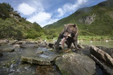 Brown Bear and Salmon, Katmai National Park, Alaska Photographic Print by Paul Souders
