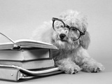 1950s White Poodle Wearing Black Eye Glasses Sitting Beside a Pile of School Books Photographic Print