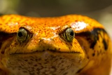 Madagascar Tomato Frog, Madagascar Photographic Print by Paul Souders