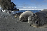 Weddell Seals on Livingstone Island, Antarctica Stampa fotografica di Paul Souders