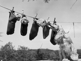 1950s Mother Cocker Spaniel Tending Her 4 Puppies Hanging in Socks on a Laundry Clothesline Photographic Print