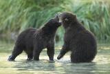 Brown Bear Cubs, Katmai National Park, Alaska Photographic Print by Paul Souders