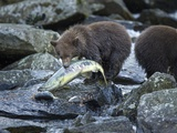 Brown Bear Cub and Huge Salmon, Katmai National Park, Alaska Photographic Print by Paul Souders
