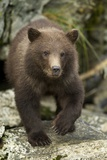 Brown Bear Cub, Katmai National Park, Alaska Photographic Print by Paul Souders