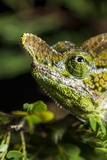 Chameleon, Kirindy Forest Reserve, Madagascar Photographic Print by Paul Souders