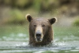 Brown Bear, Katmai National Park, Alaska Reproduction photographique par Paul Souders