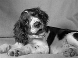 1950s Springer Spaniel Lying Down with Head Cocked and Mouth Open Photographic Print