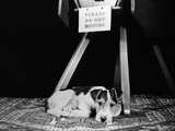 1930s-1940s Wire Fox Terrier Dog Lying Curled Up on Oriental Carpet under Table Photographic Print