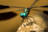 Dragonfly, Isalo National Park, Madagascar Photographic Print by Paul Souders