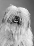 1960s Portrait of Old English Sheepdog with Hair Covering Eyes and Tongue Barely Hanging Out Photographic Print