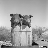 1950s Two Duroc Pigs Piglets in a Nail Keg Barrel Farm Barn in Background Pork Barrel Cute Photographie par B. Taylor