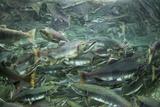 Spawning Salmon, Katmai National Park, Alaska Photographic Print by Paul Souders