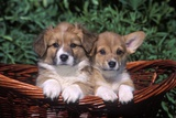 Two Welsh Corgi Puppies in Basket Photographic Print by B. Von Hoffmann
