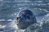 Leopard Seal, Deception Island, Antarctica Photographic Print by Paul Souders