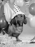 1960s Dachshund Wearing Polka Dot Party Hat Photographic Print