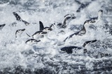 Chinstrap Penguins, Deception Island, Antarctica Photographic Print by Paul Souders