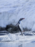Leaping Gentoo Penguin, Antarctica Photographic Print by Paul Souders