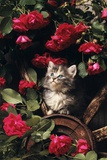 1980s Blue Calico Longhaired Kitten Amid Red Roses Photographic Print