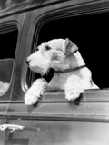 Profile Portrait of Wire Fox Terrier Dog Looking Out of Automobile Window Photographic Print