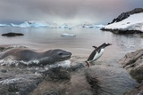 Leopard Seal Hunting Gentoo Penguin, Antarctica Photographic Print by Paul Souders