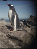 Gentoo Penguins on Deception Island, Antarctica Photographic Print by Paul Souders