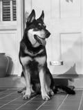 1950s German Shepherd Dog Sitting Outside Front Door of Home Guard Security Protection Photographic Print