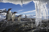 Gentoo Penguins and Icicles, Antarctica Photographic Print by Paul Souders