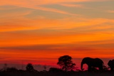 Elephant at Dusk, Nxai Pan National Park, Botswana Photographic Print by Paul Souders