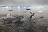 Leopard Seal Hunting Gentoo Penguins, Antarctica Photographic Print by Paul Souders