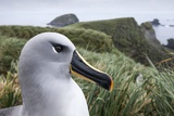 Gray-Headed Albatross on Diego Ramirez Islands, Chile Photographic Print by Paul Souders