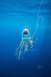 Underwater Jellyfish in Diego Ramirez Islands, Chile Photographic Print by Paul Souders