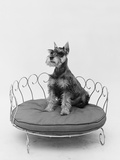 1950s Schnauzer Dog Sitting Prettily Posed in Brass Doggie Bed Photographic Print
