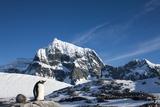 Gentoo Penguin, Antarctica Fotografisk tryk af Paul Souders