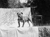 English Bulldog Portrait, Ca. 1930 Photographic Print